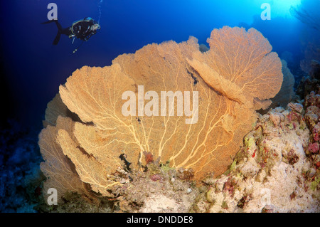 Diver looking at Venus fan, Venus sea fan, common sea fan, West Indian sea fan or purple gorgonian seafan (Gorgonia - Stock Photo