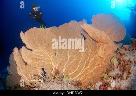 Diver looking at Venus fan, Venus sea fan, common sea fan, West Indian sea fan or purple gorgonian seafan (Gorgonia - Stock Photo