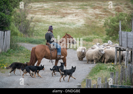 Chilean Gaucho rides horse and herds sheep - Stock Photo