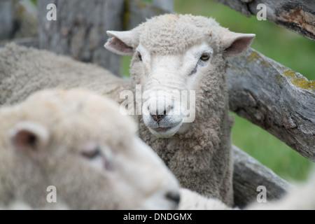 Chilean Sheep - Stock Photo