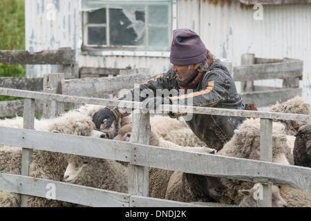 Chilean Gaucho checks his sheep - Stock Photo