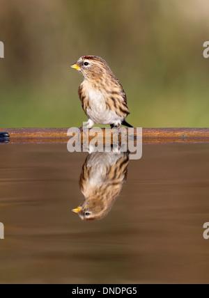 Lesser redpoll, Carduelis cabaret, single bird at water, Warwickshire, December 2013 - Stock Photo