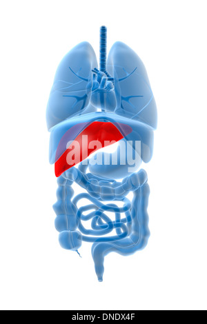 X-ray image of internal organs with pancreas highlighted in red. - Stock Photo