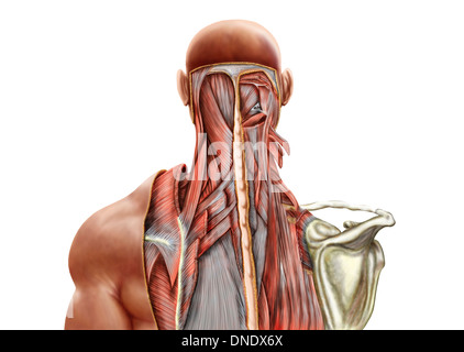 Human anatomy showing deep muscles in the neck and upper back. - Stock Photo