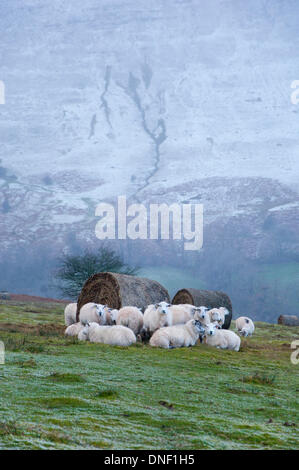 Hay Bluff, Powys, UK. 24th December 2013. Sheep seek shelter from the icy driving wind behind bales in the feeding - Stock Photo