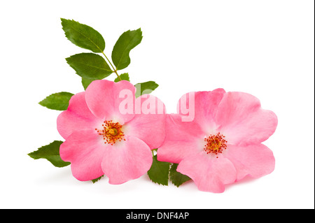 rose pink flowers isolated on white - Stock Photo