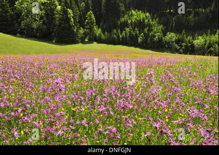 Wiese mit Nelken, Blumenwiese, Nelke, Waldrand - Stock Photo
