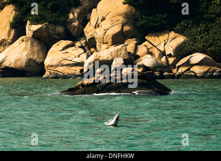 The beautiful Chinese white dolphins swimming in the open sea north of Lantau island in Hong Kong - Stock Photo