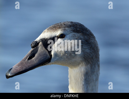 Mute Swan Cygnus olor - close up of juvenile head - Stock Photo