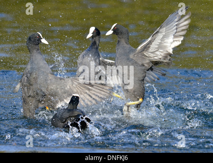 Coot - Fulica atra - Adult birds squabbling - Stock Photo
