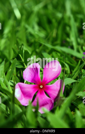 Close up of a pink Vinca Rose (Catharanthus roseus) flower in grass - Stock Photo