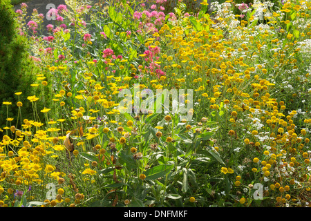 corn marigold or corn daisy, Glebionis segetum (syn. Chrysanthemum segetum) and Centranthus ruber in a garden Stock Photo