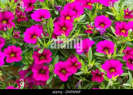 Petunia 'Bouquet Brilliant Pink' = Calibrachoa 'Million Bells Bouquet Brilliant Pink' = Surfinia 'Million Bells - Stock Photo