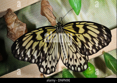 Paper Kite, Rice Paper, or Large Tree Nymphbutterfly (Idea leuconoe), Nymphalidae, Lepidoptera, Asia - Stock Photo
