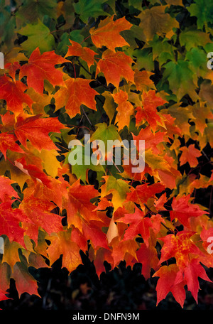 Green leaves changing to brilliant red, orange and yellow colors mark autumn and the Fall Color season in the USA. Stock Photo