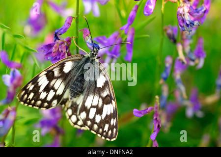 Marbled White Butterflies Melanargia galathea, Satyridae, Castelluccio di Norcia, Umbria, Italy - Stock Photo