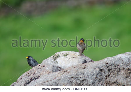 Band-tailed Sierra Finch (Phrygilus alaudinus bipartitus) male (left) and Rufous-collared Sparrow (Zonotrichia capensis) - Stock Photo