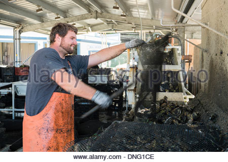 Hog island Oyster Farm, Marshall, California - Stock Photo