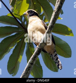 A Laughing Falcon (Herpetotheres cachinnans) Braulio Carillo, Horquetas, Sarapiqui, Costa Rica. - Stock Photo
