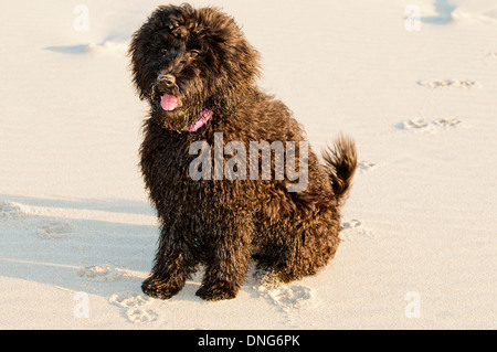 Four-month-old Australian labradoodle puppy - Stock Photo