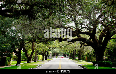 Old Oak Trees along Coral Way, Miami - Stock Photo