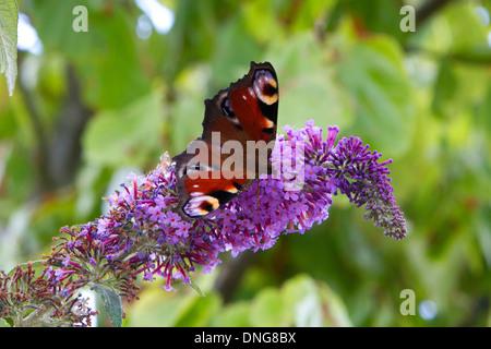 European Peacock (Inachis io) butterfly feeding on a Buddleja flower in a garden near Wedmore, Somerset, UK in July - Stock Photo
