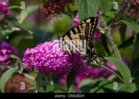 Western Tiger Swallowtail (Papilio rutulus) butterfly feeding on Buddleja flower in Nanaimo, Vancouver Island, BC,Canada in July