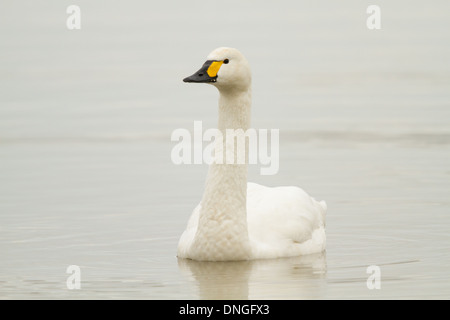 Bewick's Swan (Cygnus columbianus bewickii), Slimbridge, UK - Stock Photo