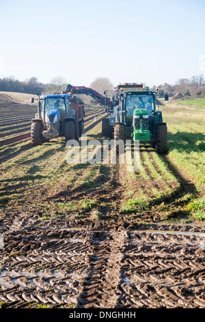 Farm machinery harvesting a winter carrot crop in a field, Ramsholt, Suffolk, England - Stock Photo