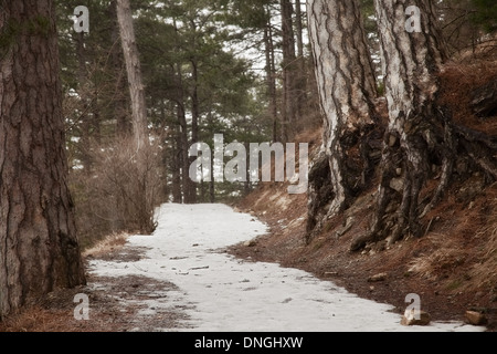snowy trail in the coniferous forest - Stock Photo
