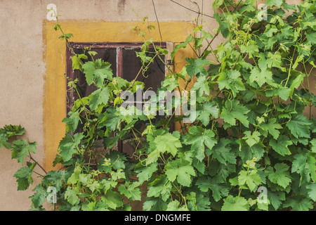 An old House, in front of the window are vine branches - Stock Photo