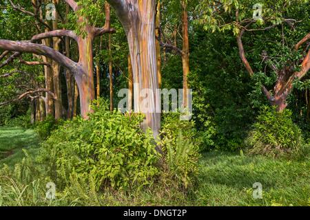 The colorful and magical Rainbow Eucalyptus tree, Eucalyptus deglupta. - Stock Photo