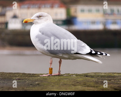 A herring gull Larus argentatus with BTO leg rings that show it to be about 10 years old at Whitby North Yorkshire - Stock Photo