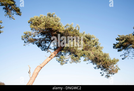 Scots pine tree bent by wind against blue sky, Ramsholt, Suffolk, England - Stock Photo