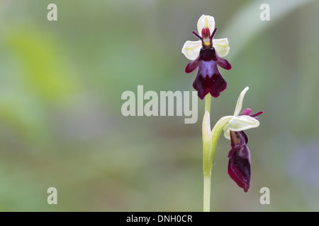 Fly orchid (Ophrys insectifera). Surrey, UK. - Stock Photo