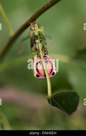 Puss moth caterpillar (Cerura vinula) on aspen. Surrey, UK. - Stock Photo