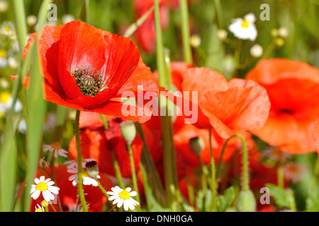 Poppy flower in a field. Red poppies symbol of remembrance. Symbol of a new summer season. - Stock Photo