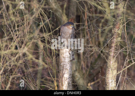 Male sparrowhawk (Accipter nisus) perched in woodland. Surrey, UK. - Stock Photo