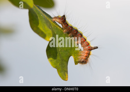 Caterpillar of the grey dagger moth (Acronicta psi) feeding on scrub oak. Surrey, UK. - Stock Photo