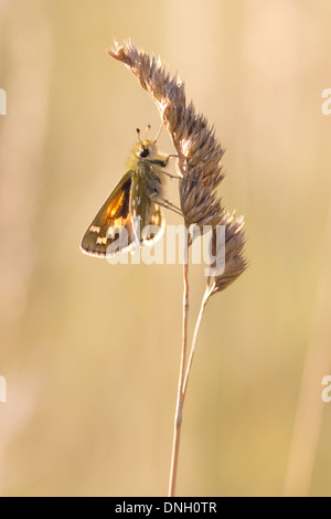 Silver-spotted skipper (Hesperia comma) on grass head. Surrey, UK. - Stock Photo