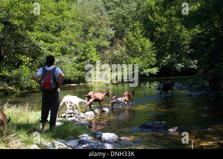 GOATHERD OUT WITH HIS HERD OF GOATS, SAINT-ETIENNE-VALLEE-FRANCAISE, LOZERE (48), FRANCE - Stock Photo