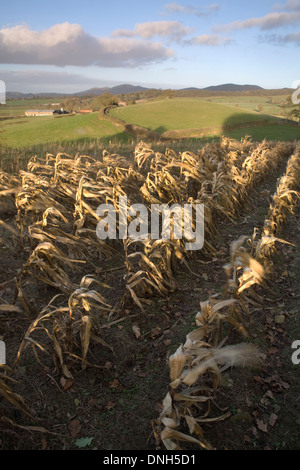 Corn left in a field over Winter in Herefordshire. The Malvern Hills can be seen in the background. - Stock Photo