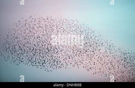 Murmuration exaltation, a starling flock forms a fantastic acrobatic mass before roosting at Brandon Marsh Warwickshire - Stock Photo