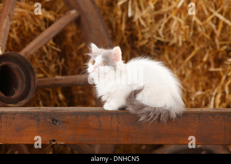 British Longhair, kitten, blue-van, 10 weeks |Britisch Langhaar, Kaetzchen, blue-van, 10 Wochen - Stock Photo