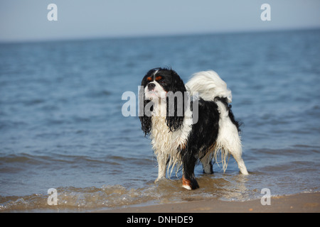 Cavalier King Charles Spaniel, male, tricolor, Texel, Netherlands - Stock Photo