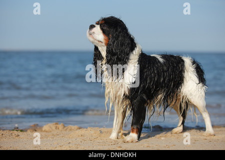Cavalier King Charles Spaniel, male, tricolour, Texel, Netherlands - Stock Photo