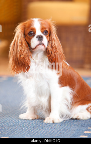 cavalier mature singles Diabetes mellitus and cavalier king charles spaniels what it is symptoms diagnosis related disorders treatment-- dietary care.