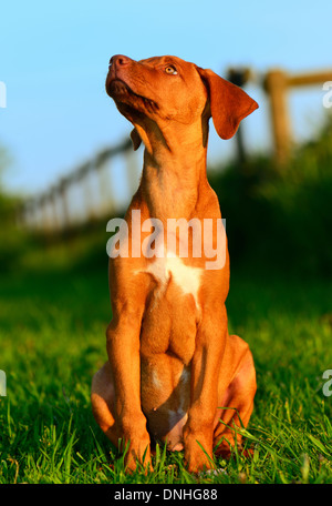 Rhodesian Ridgeback puppy sitting and looking up. - Stock Photo