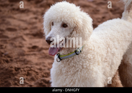 Standard or Giant Poodle, white, portrait - Stock Photo