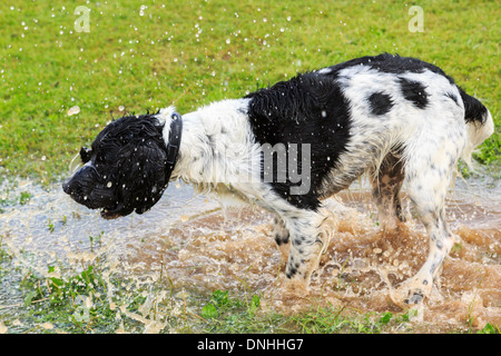 An adult Black and White English Springer Spaniel dog splashing in a puddle shaking off water drops. England, UK, - Stock Photo